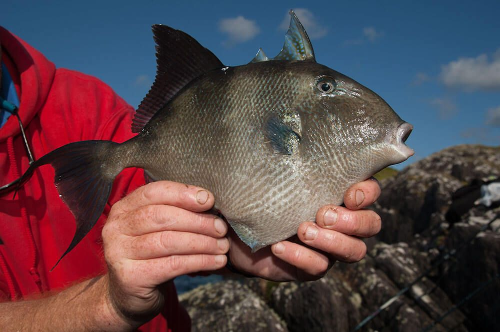 Shore fishing for triggerfish