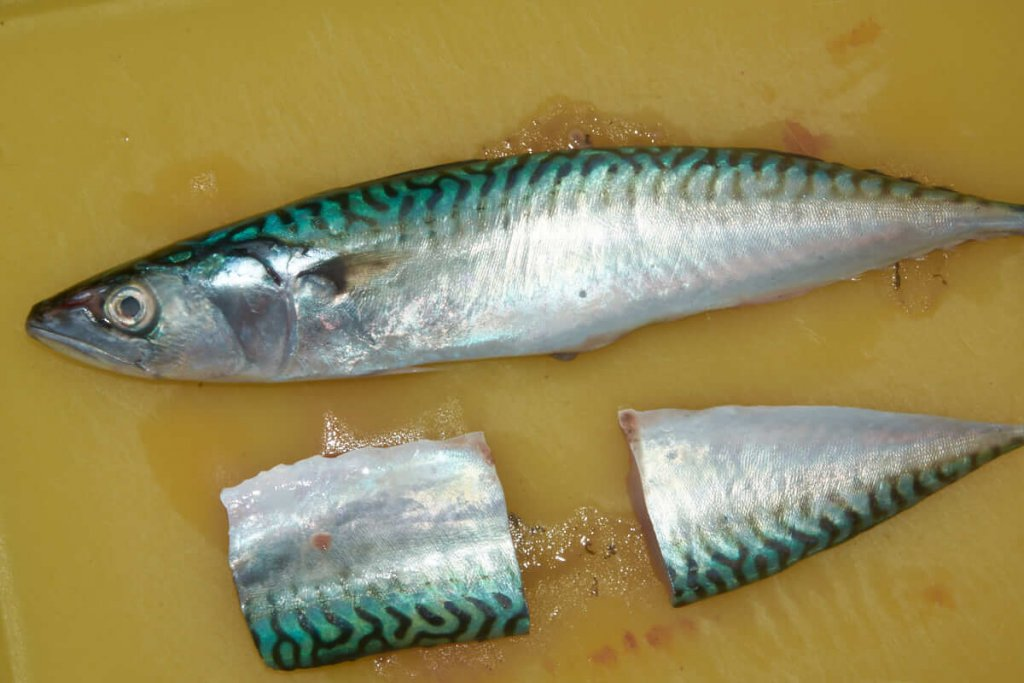 Undulate Ray Mackerel Bait