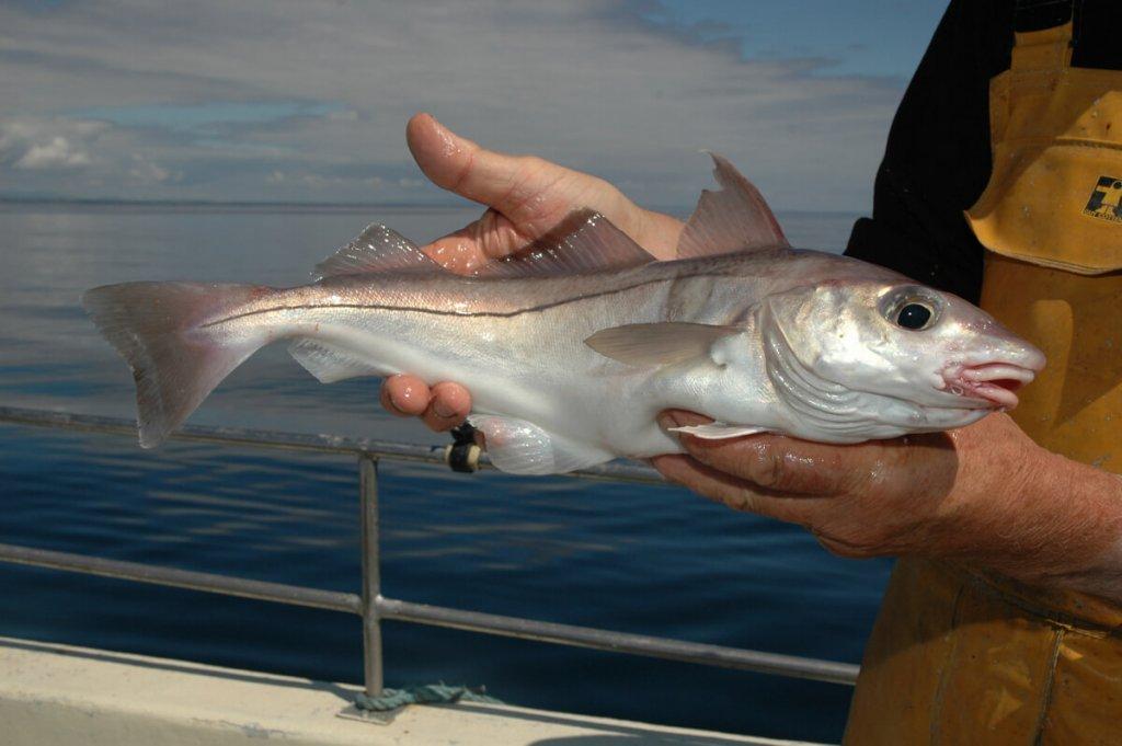 Fishing for haddock